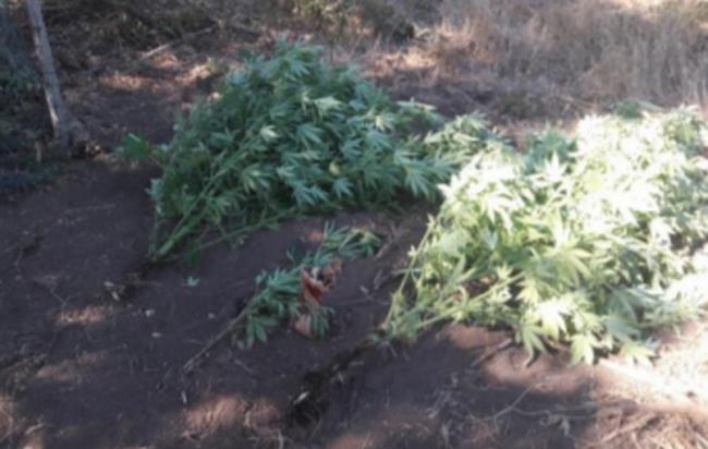 Cava de' Tirreni, 57enne nascondeva piantagione di marijuana in un terreno