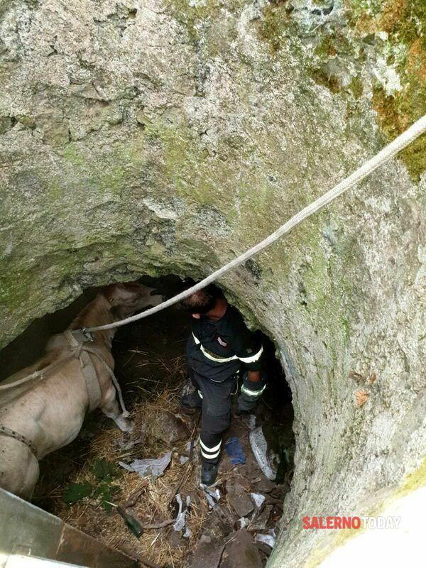 Vitella precipita in un pozzo a Cava de' Tirreni: salvata dai vigili del fuoco